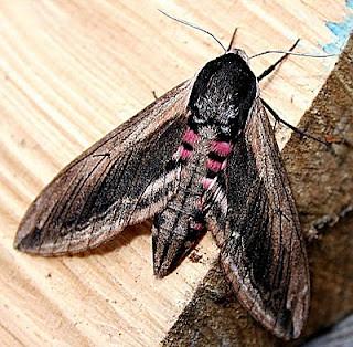 1976-privet-hawk-moth-a-sphinx-ligustri
