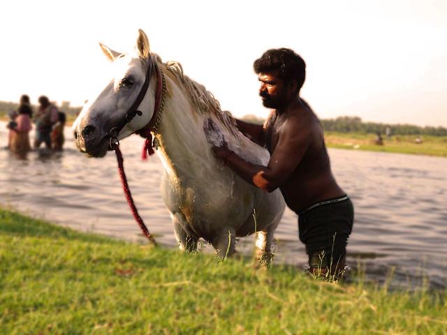 Indian Horse Bathing