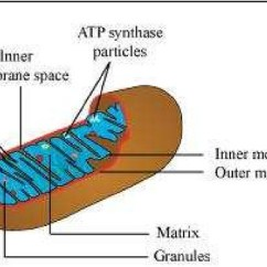Simple Mitochondria Diagram Ford Mondeo 2001 Radio Wiring Ncert Solutions Class 11 Biology Chapter 8 Cell The Unit Of Life Aglasem Schools