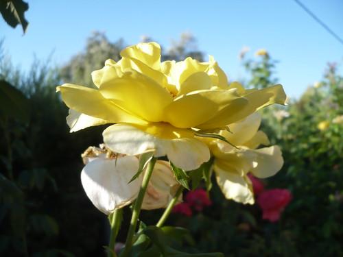 yellow grow
