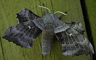 1981-poplar-hawk-moth-laothoe-populi