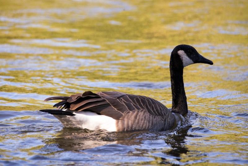 _DSC5162 Canada Goose