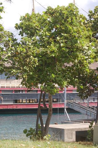 sea grape tree