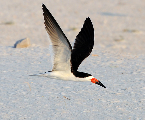 Flight of the Black Skimmer