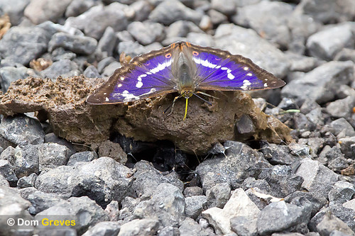 Purple Emperor Banquet