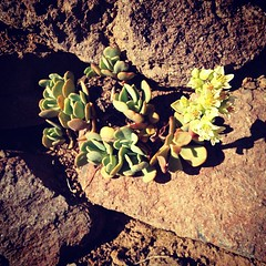 Wild Succulent