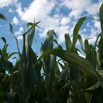 Iowa Corn #2