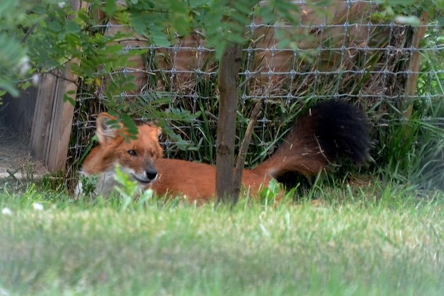 Bushy Dhole Tail
