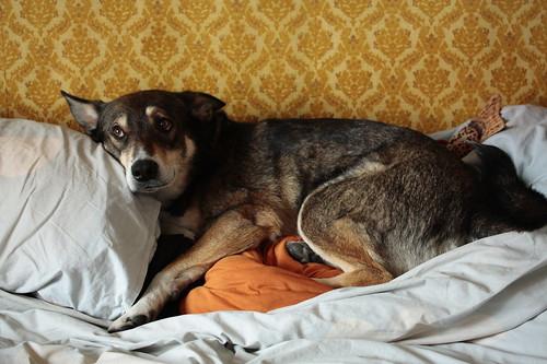 Kenai sleeping on the pillows