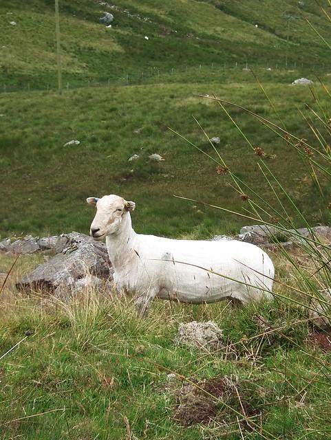 Sheep on Snowdon, Wales