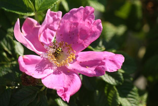 rosa ragusa