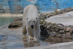 Eisbär Rocky in der Monde Sauvage Safari in Aywaille