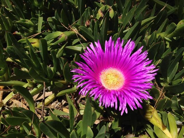 Pink ice plant flower (Carpobrotus edulis, Aizoaceae)