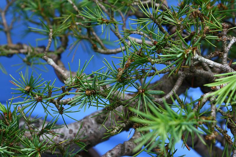 Cedar Foliage 1