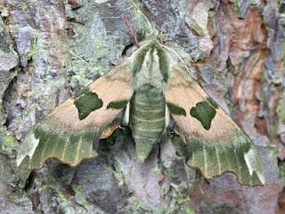 1979-lime-hawk-moth-mimas-tiliae