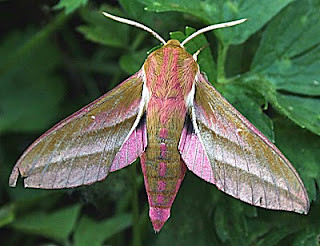 1991-elephant-hawk-moth-deilephila-elpenor