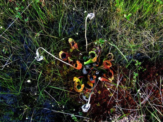 pitcher plants and red sphagnum