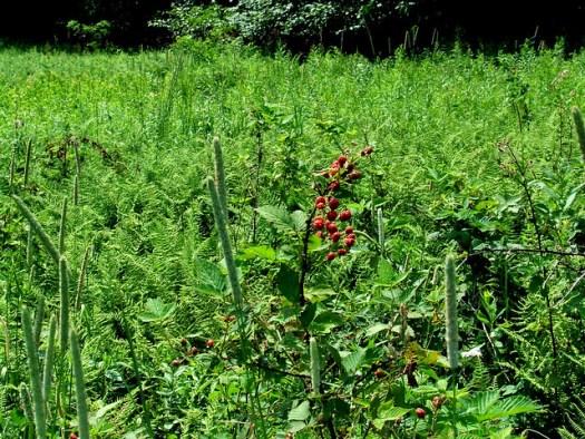 blackberries and timothy weed