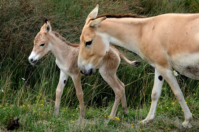 Persian Onager Foal
