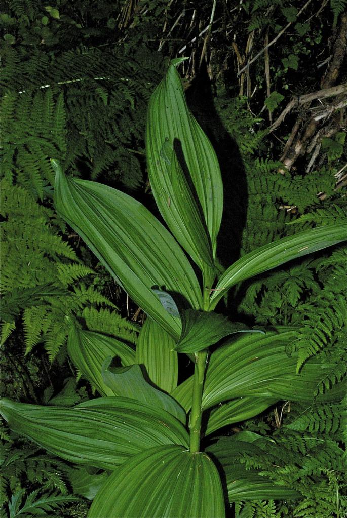 American Wild Hellebore, Varatrum virile
