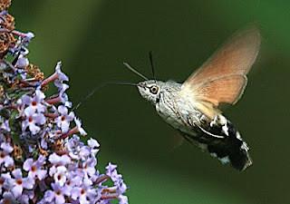 1984-hummingbird-hawk-moth-a-macroglossum-stellatarum