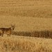 Coyote in wheat field
