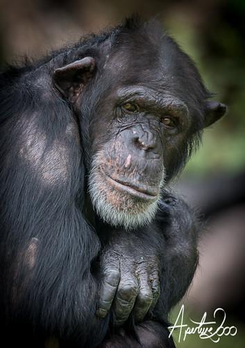Chimp by TheApertureMan