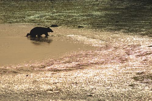 Bear crossing mud flat