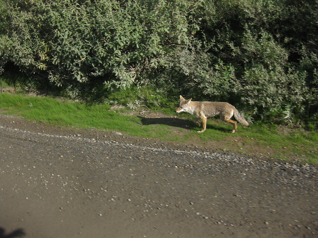 Coyote on the road