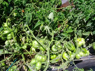 Loads of Green Tomatoes