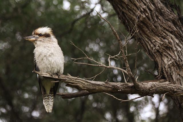 Kookaburra (genus Dacelo)