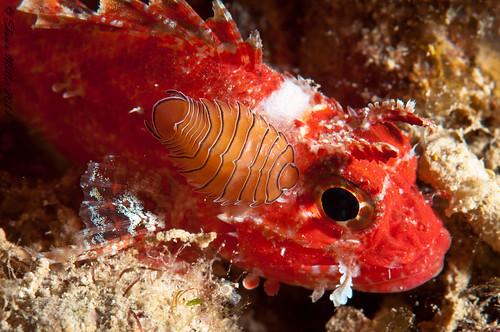 Isopod of the Ryukyu islands  (Renocilla bollandi, Williams & Williams 1987)
