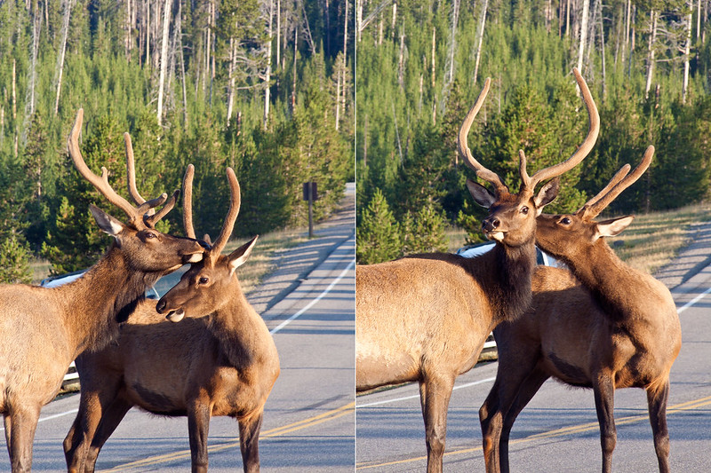 In love sweet couple of Elk, Yellowstone National Park