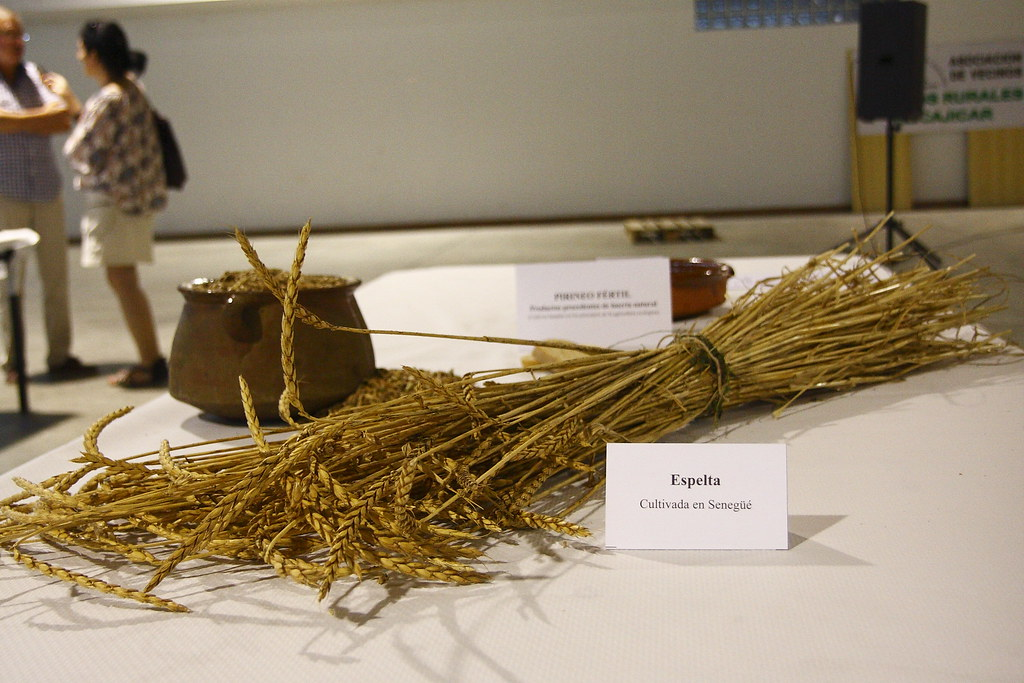 Espelta cultivada en Senegüé