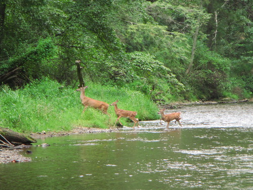 Deer on the Gunpowder River