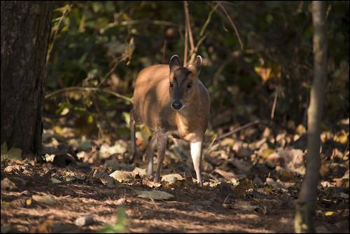 Female Muntjac Deer by Ben Locke (Ben909)