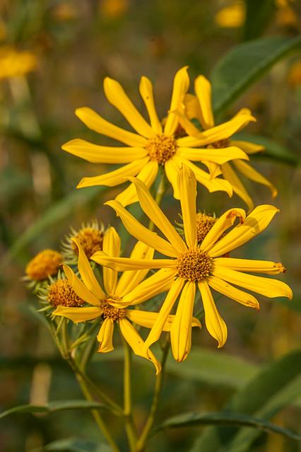 Prairie Rosinweed © 2012 Bo Mackison