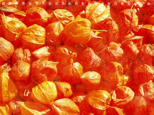 TT-physalis-orange-w