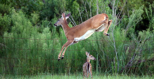 Jumping Deer Sequence Shot 5