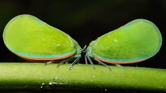 Flatid Planthoppers (Phromnia sp., Flatidae)