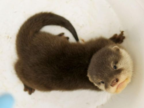 looking down at a fuzzy brown and tan otter pup. It is looking up at the camera.