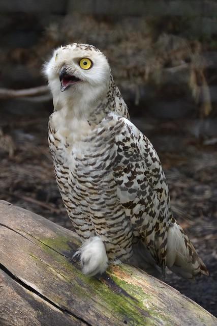 Chattin' Owl