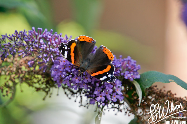 The Red Admiral – Daily Photo (25th August 2012)