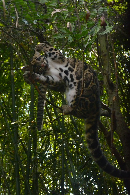 Clouded Leopard Belly (2)