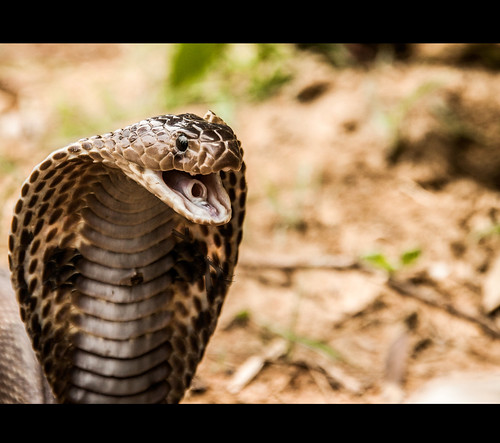 Naja naja (Indian Spectacled Cobra) by Rajanna @ Rajanna Photography