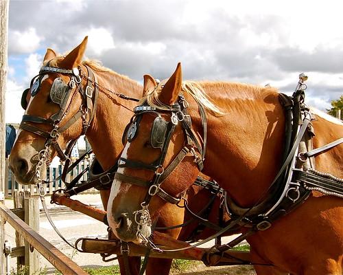 Trolley horses