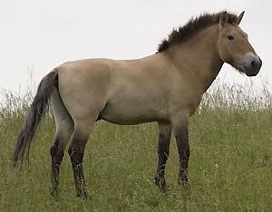 Przewalski's Horse.