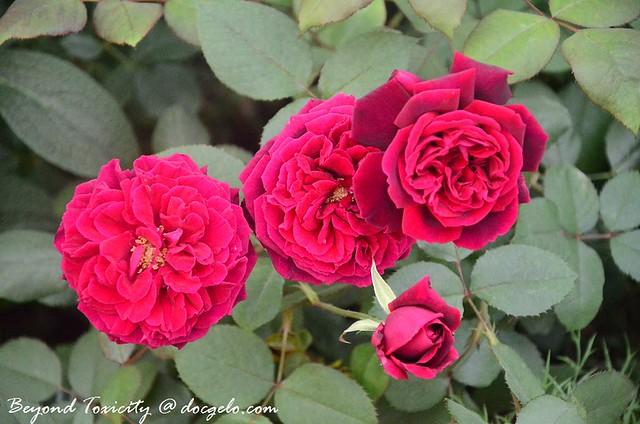 roses are red :)