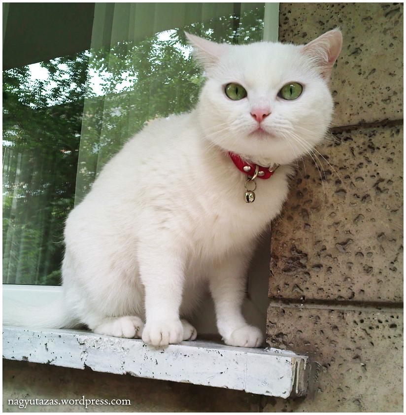 Cukorfalat, a csodaszép török angóra cicus