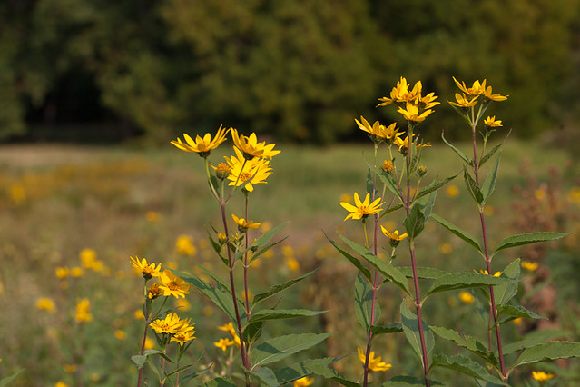 Eight Foot Tall - Sunflowers in the Tallgrass Prairie